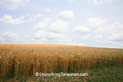 Wheat Field at Harvest Time, Dane County, Wisconsin