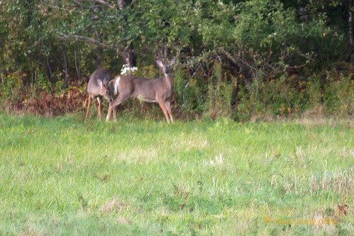 White-tailed buck & doe   03.jpg