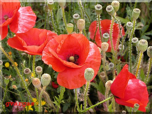 Red Poppy (by Graça Vargas - Flowers)