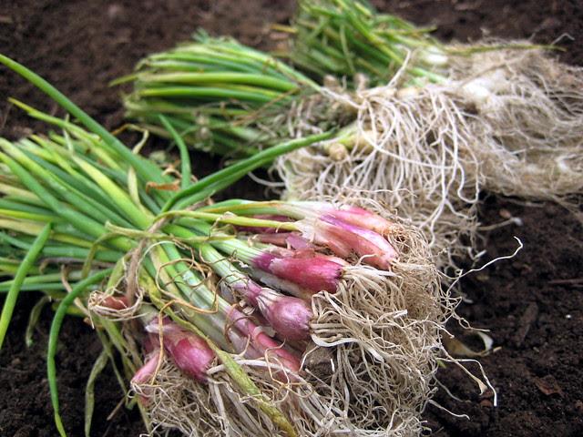 Onion Sets - 269/365