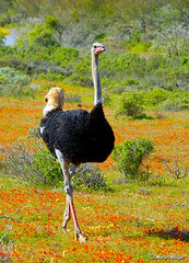 Namaqualand Ostrich