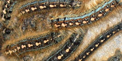 Millions of caterpillars continued to invade all surroundings and attack houses of residents of seven villages in Probolinggo in East Java. Residents of Sumber Bulu, Leces, Kedawung, Pondok Wulu, Tigasan,...