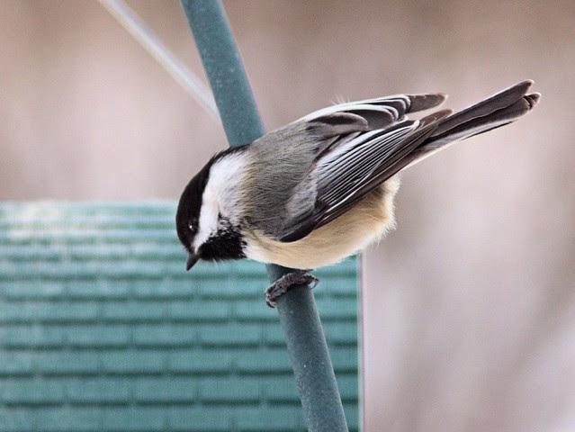 Black-capped Chickadee 2-20130305