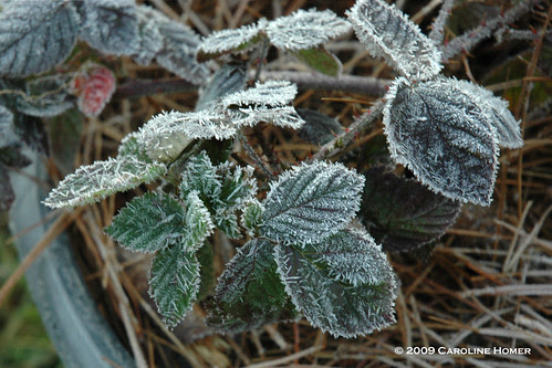 Frost on black raspberry leaves