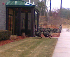 Turkeys31208c