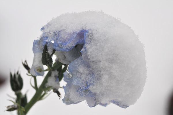delphinidin ice