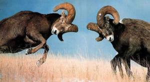 Male-Bighorn-Sheep-compete