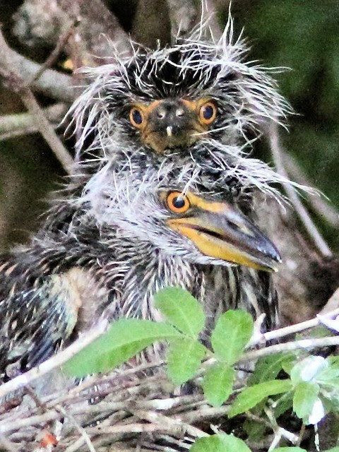 Yellow-crowned Night-Heron nestlings at nest 22 20130527