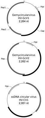 Thumbnail of Genomic features of gemycircularviruses HV-GcV1 and HV-GcV2 and of a novel circular single-stranded DNA (ssDNA) virus, HV-CV1, including hairpin structure and predicted open reading frames. Cap, capsid; Hyp, hypothetical protein with unknown function; Rep, replication initiation protein.