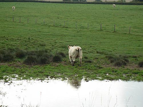 une vache sort de l'eau.jpg