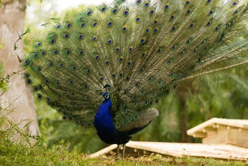 peacock.gif