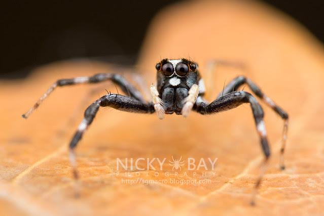 Jumping Spider (Salticidae) - DSC_5999