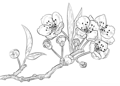 Dibujo De Flores De Cerezo Para Colorear Dibujos Para Colorear
