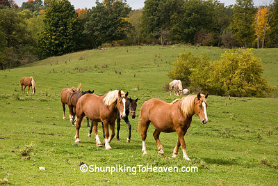 Horses in the Pasture, Vernon County, Wisconsin