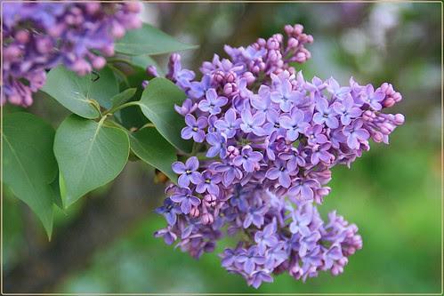 Lila o Syringa vulgaris.