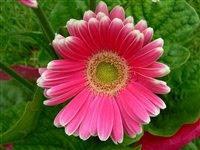 Margarida simpática cor de rosa