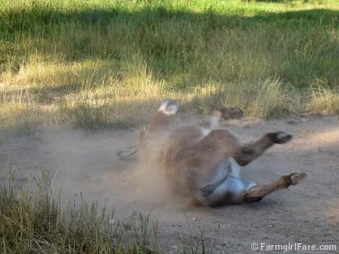 Donkey Doodle Dandy takes a dust bath (3) - FarmgirlFare.com