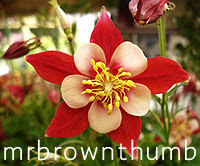 Red and pink columbine flower