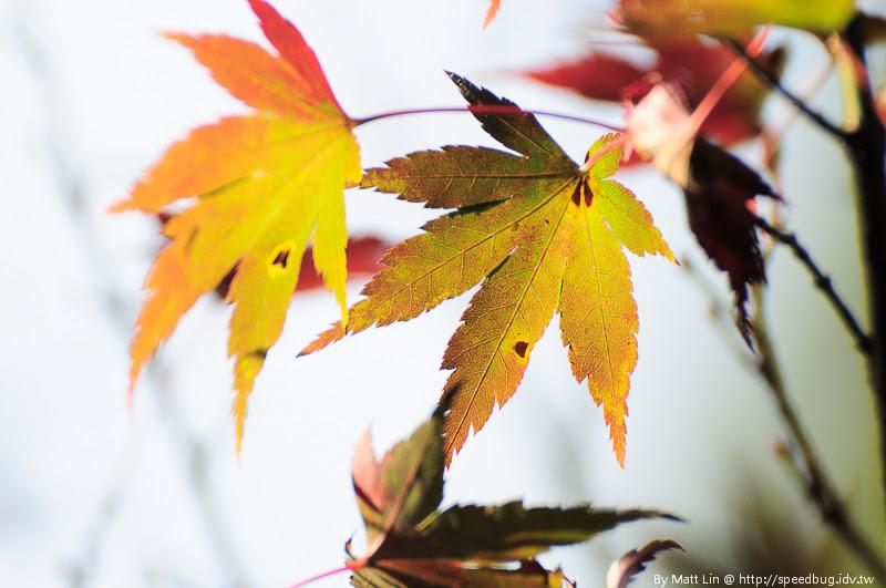 福壽山農場楓紅-14