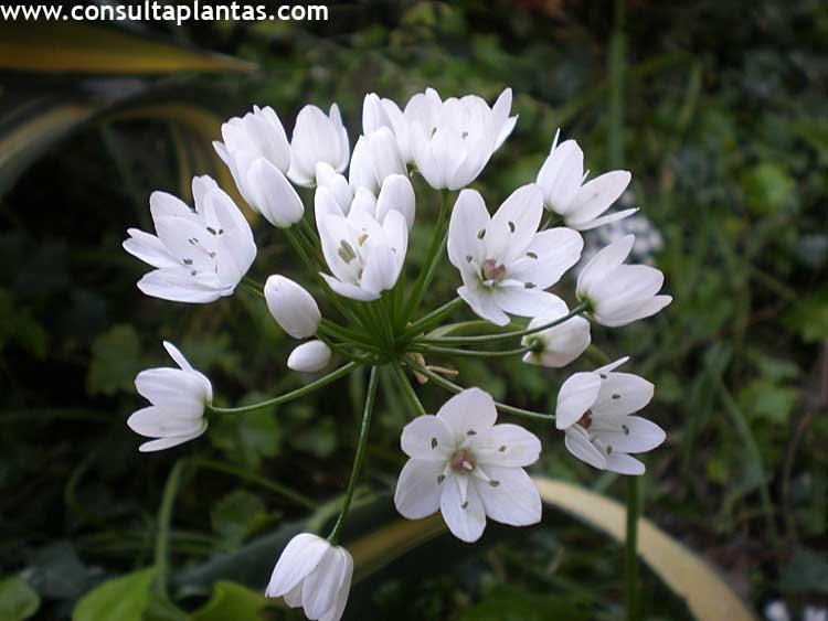 Resultado de imagen de Allium neapolitanum