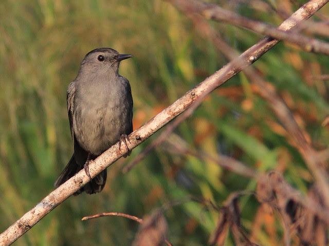 Gray Catbird 20121213