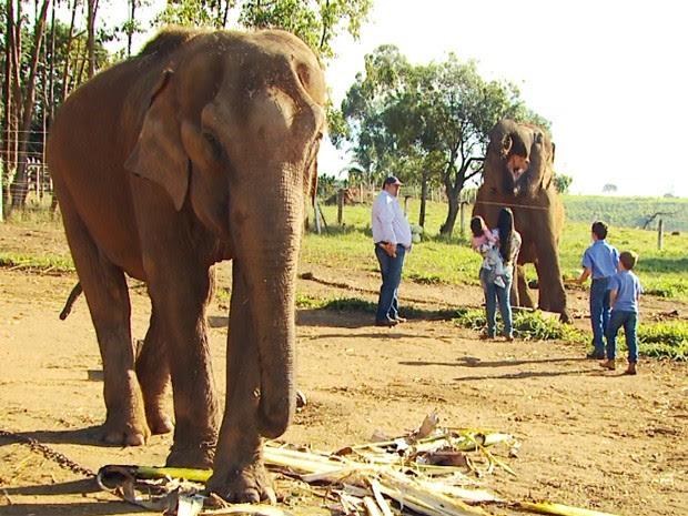 Elefantas são criadas em fazenda de Paraguaçu (Foto: Reprodução EPTV / Michel Diogo)