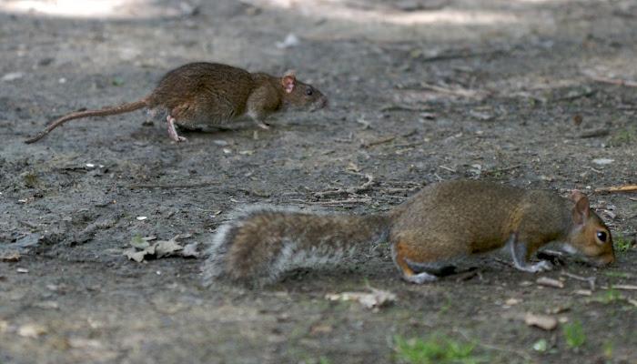 File:Rat and Squirrel.jpg
