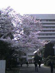 慶応病院桜満開
