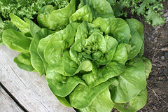 lettuce Butterhead Green, Ermosa 081