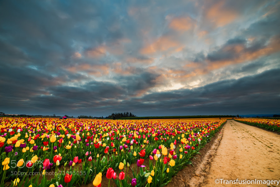 Photograph Tulip Field in Oregon by Gregorio Gomez on 500px