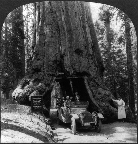 File:Wawona tree1.jpg