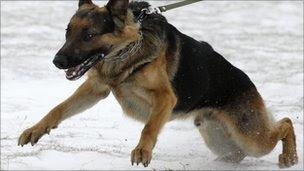 German Shepherd pulling on leash