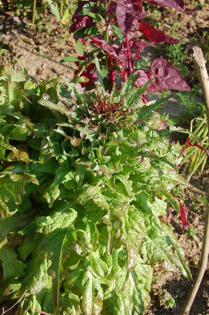 Bronze Arrow lettuce beginning to bolt