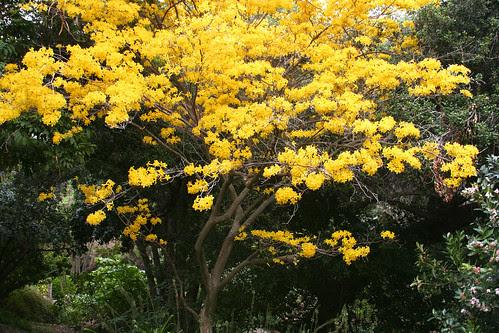 huntington yellow tree