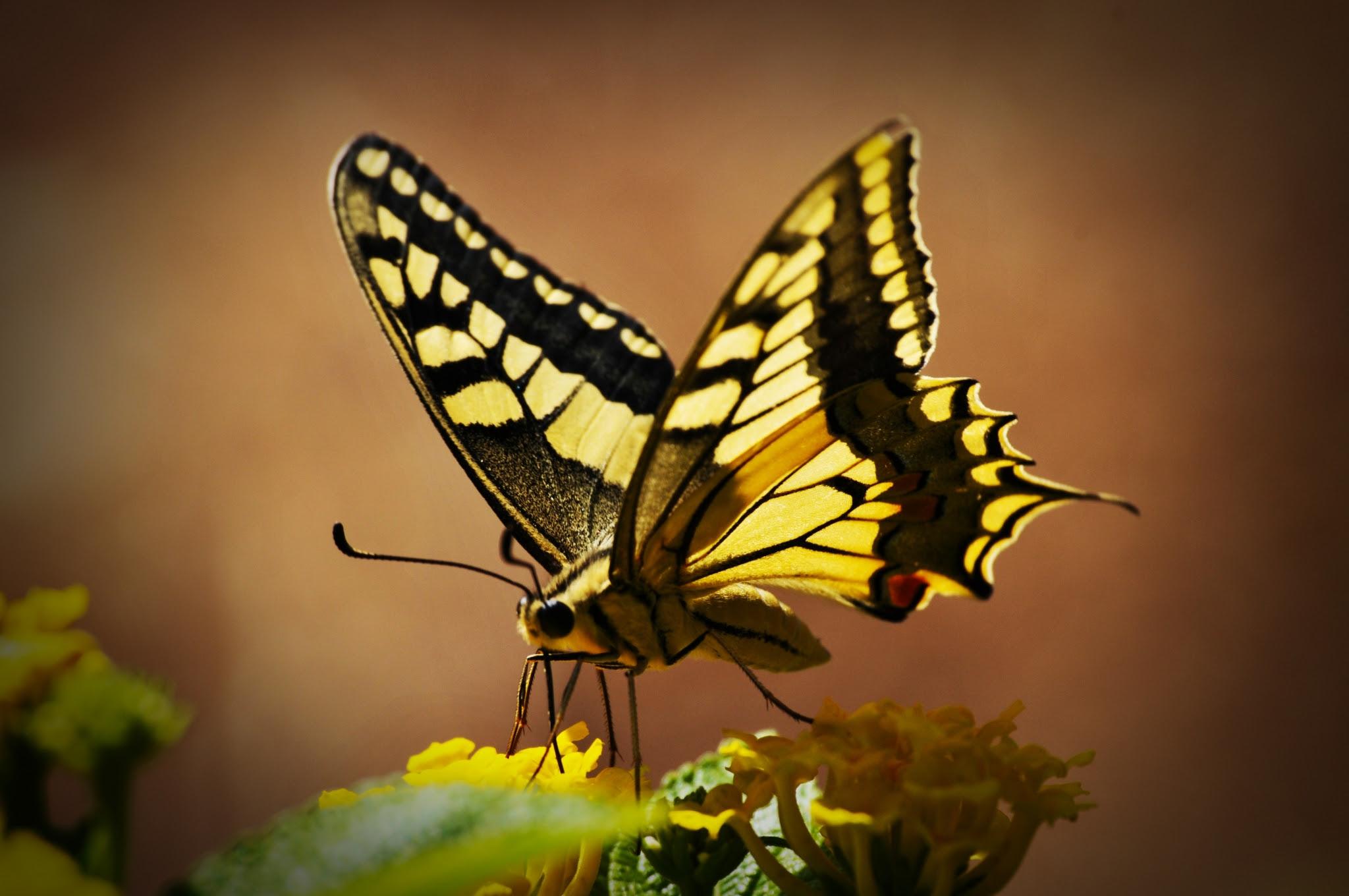 butterfly hd wallpapers 1080p windows