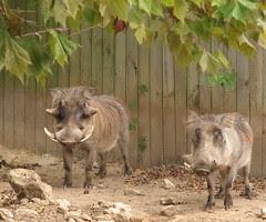 Wart Hogs