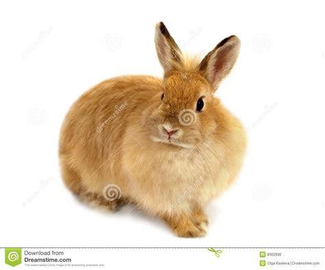 Ginger Rabbit Stock Photo   Image: 8302930