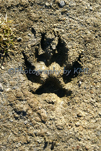 a dog paw print in the sand