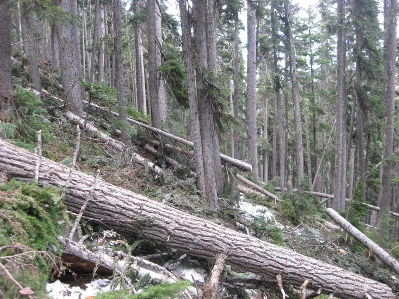 trees fallen across the path up to Singing Pass