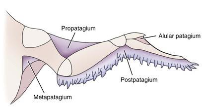 Image result for bird wing postpatagium