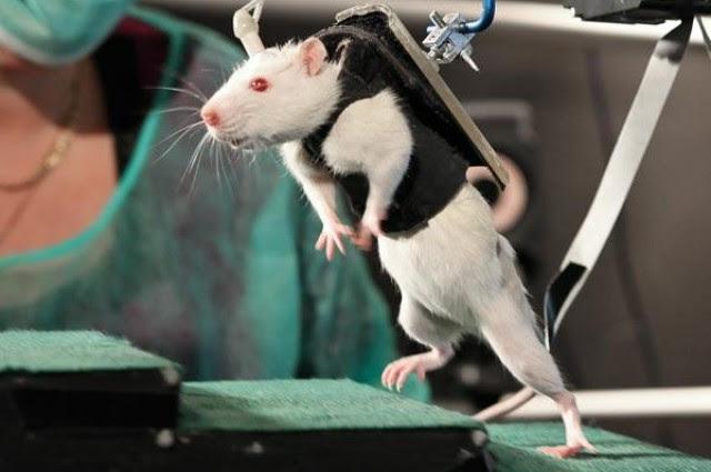paralyzed-rats[1]