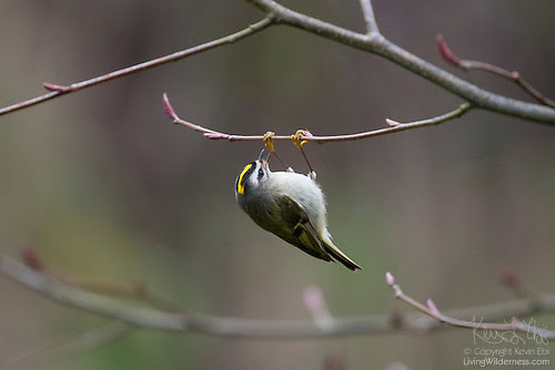 Golden-Crowned Kinglet Feeding Upside Down, Snohomish County, Washington