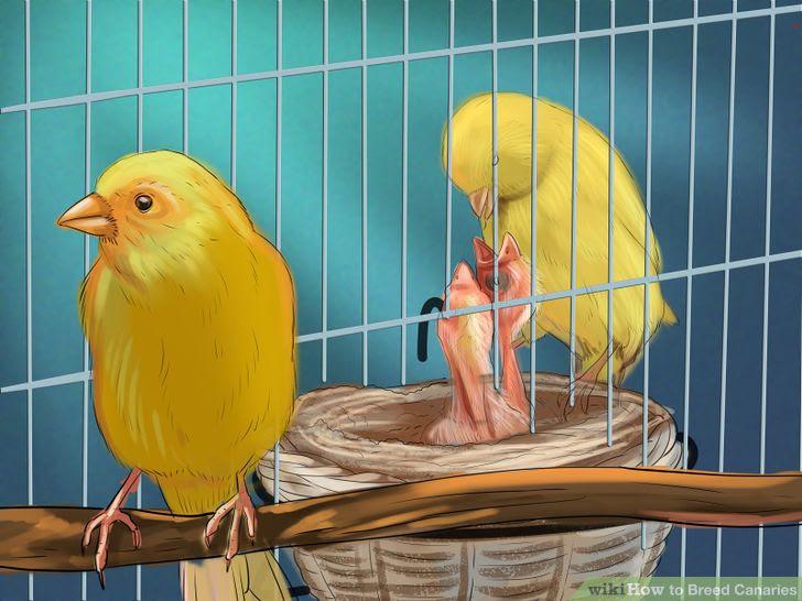 Breed Canaries Step 10.jpg