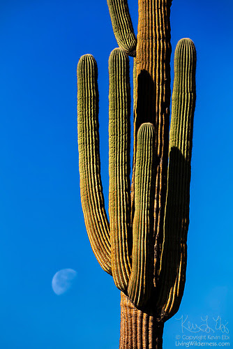 Saguaro and Moon, Superstition Wilderness, Arizona