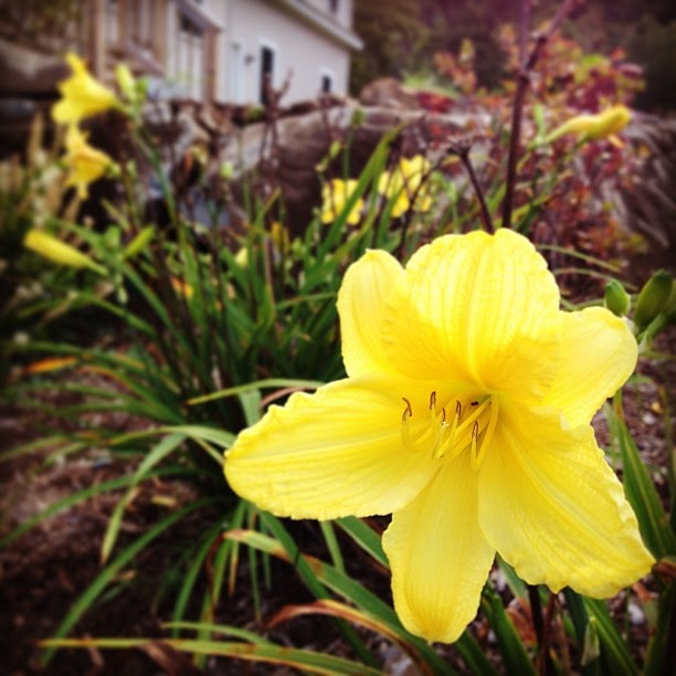 Day lilies still blooming. And I just picked a pint of blueberries. #summerforever #vermont