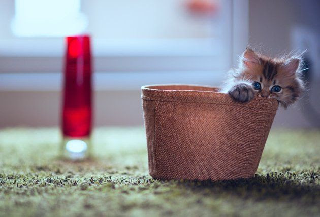 Too cute! Daisy the kitten--owned and photographed by Ben Torode, Tokyo.