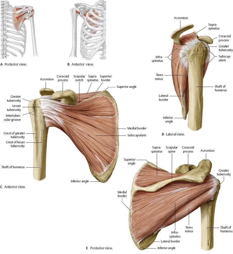 Scapula muscles (With images) | Shoulder anatomy, Anatomy, Body anatomy