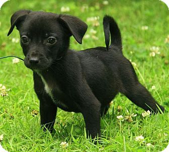 Black Jack Russell Cross Chihuahua