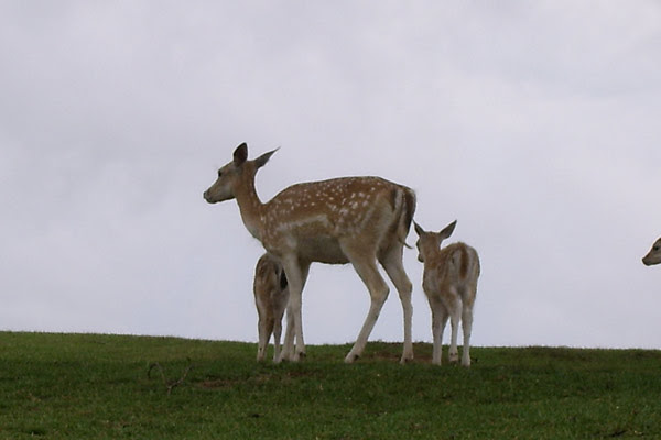 Filhotes de cervo-dama nasceram neste verão no Pampas Safári de Gravataí (Foto: Anelise Febernati/Pampas Safari/divulgação)