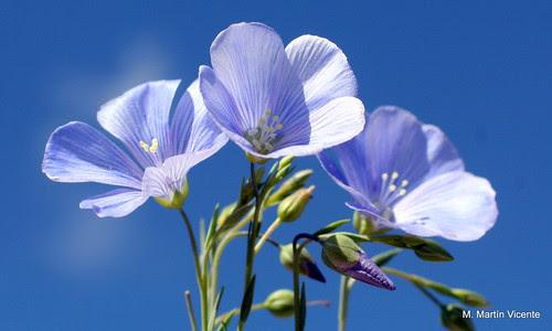 Flores del lino